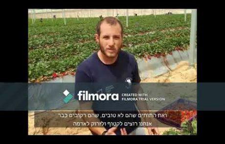 סרטון הדרכה חקלאית- קטיף תותים