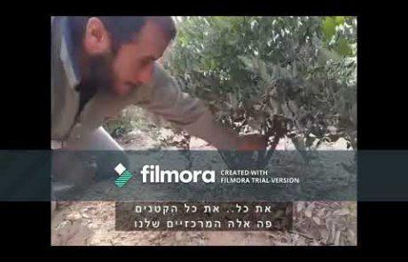 סרטון הדרכה חקלאית- גיזום 'חזירים' בשיח חוחובה